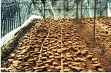 霊芝の特許栽培方法