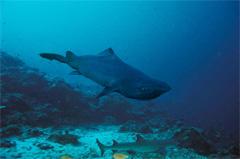 深海鮫(アイザメ)の写真